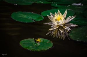 Water lily from Wayne Lu